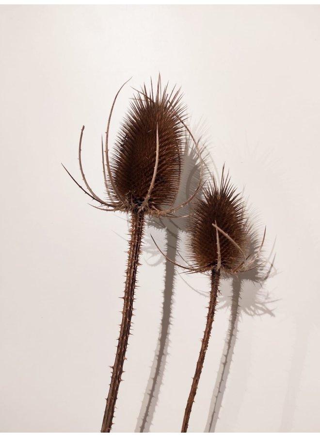 Dipsacus sativum fullonum flower groot