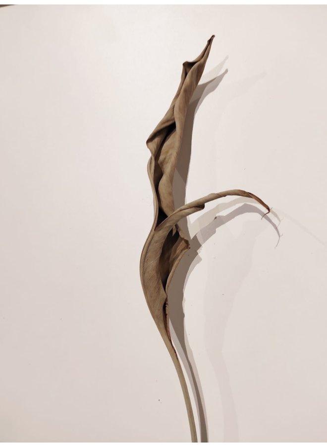 Strelitziablad gedroogd