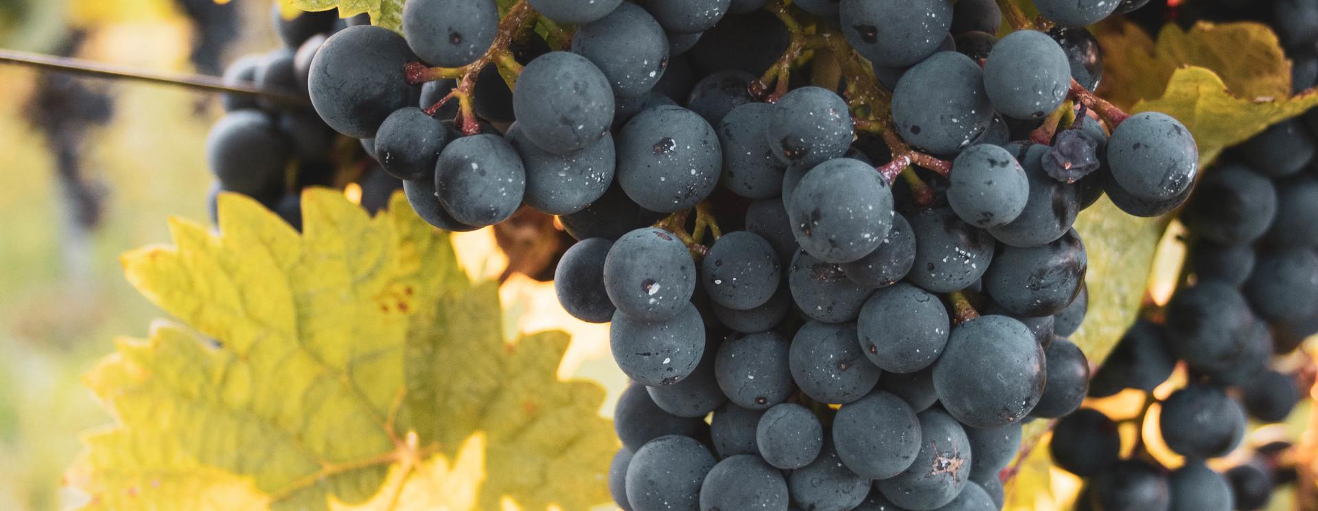 Late Harvest Wijnen
