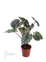 Alocasia SA Yucata Princ plant