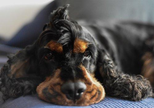 Hondenhesjes