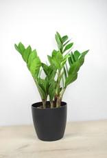Zamioculcas Zamioculcas Zamiifolia