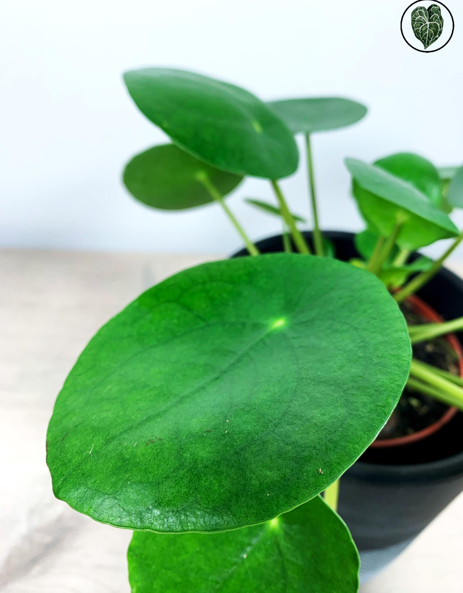 Pilea Pilea Peperomioides - Pannenkoekenplant