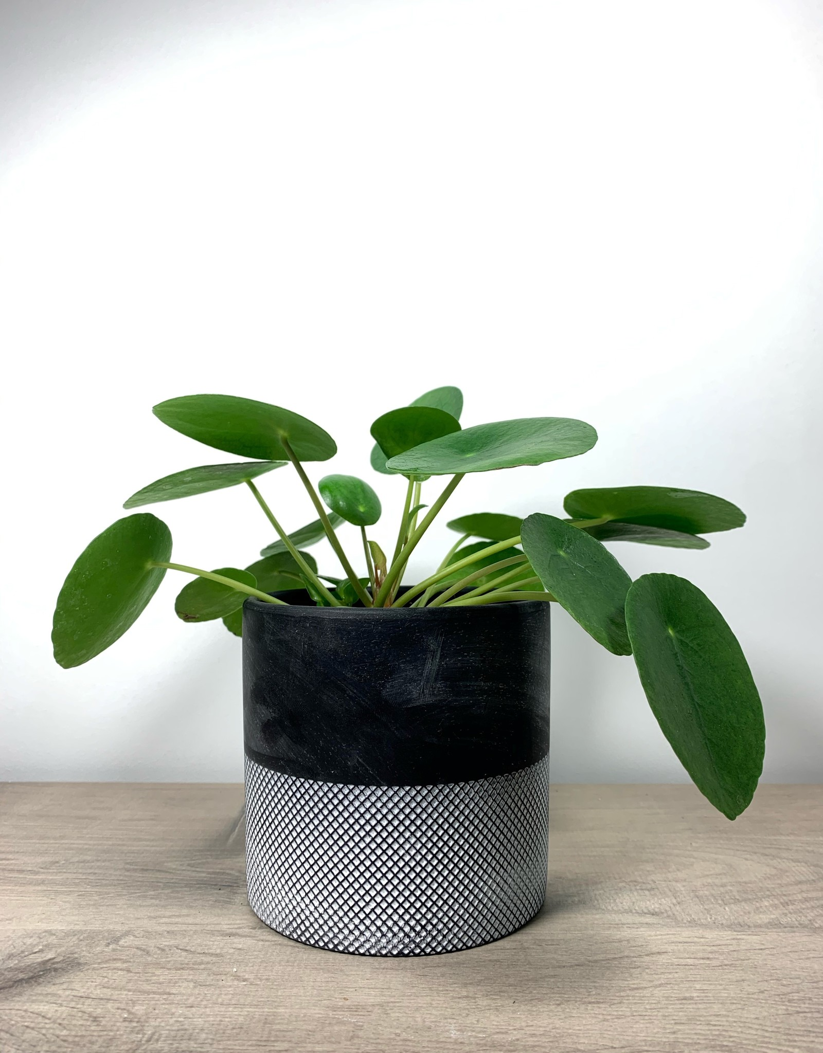 Pilea  Pilea Peperomioides - Pancake plant