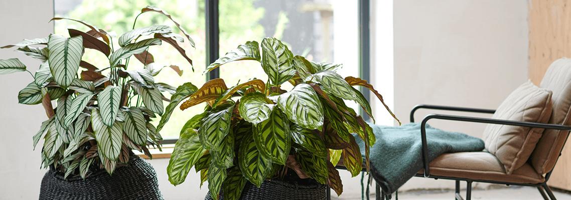 Calathea's, kamerplanten die voor kleur zorgen.