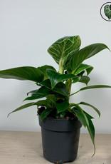 Philodendron Philodendron White Measure (Birkin)