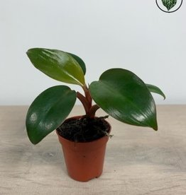 Philodendron Philodendron Red (Baron) Congo - Small