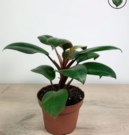Philodendron Philodendron Red Congo