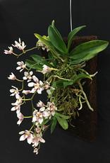 Tree Fern Tree Fern Orchid Boards (30,5 x 15,2 x 2,5 cm)