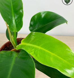 Philodendron Philodendron Moonlight