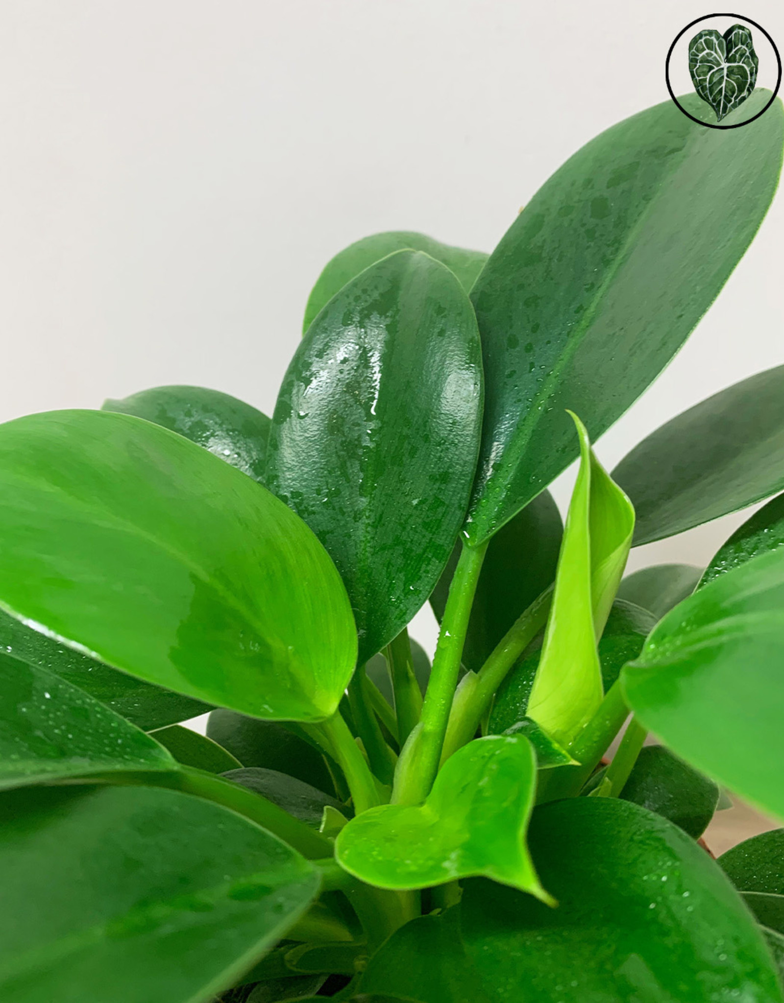Philodendron Philodendron Green Princess
