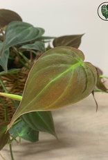 Philodendron Philodendron Scandens Micans