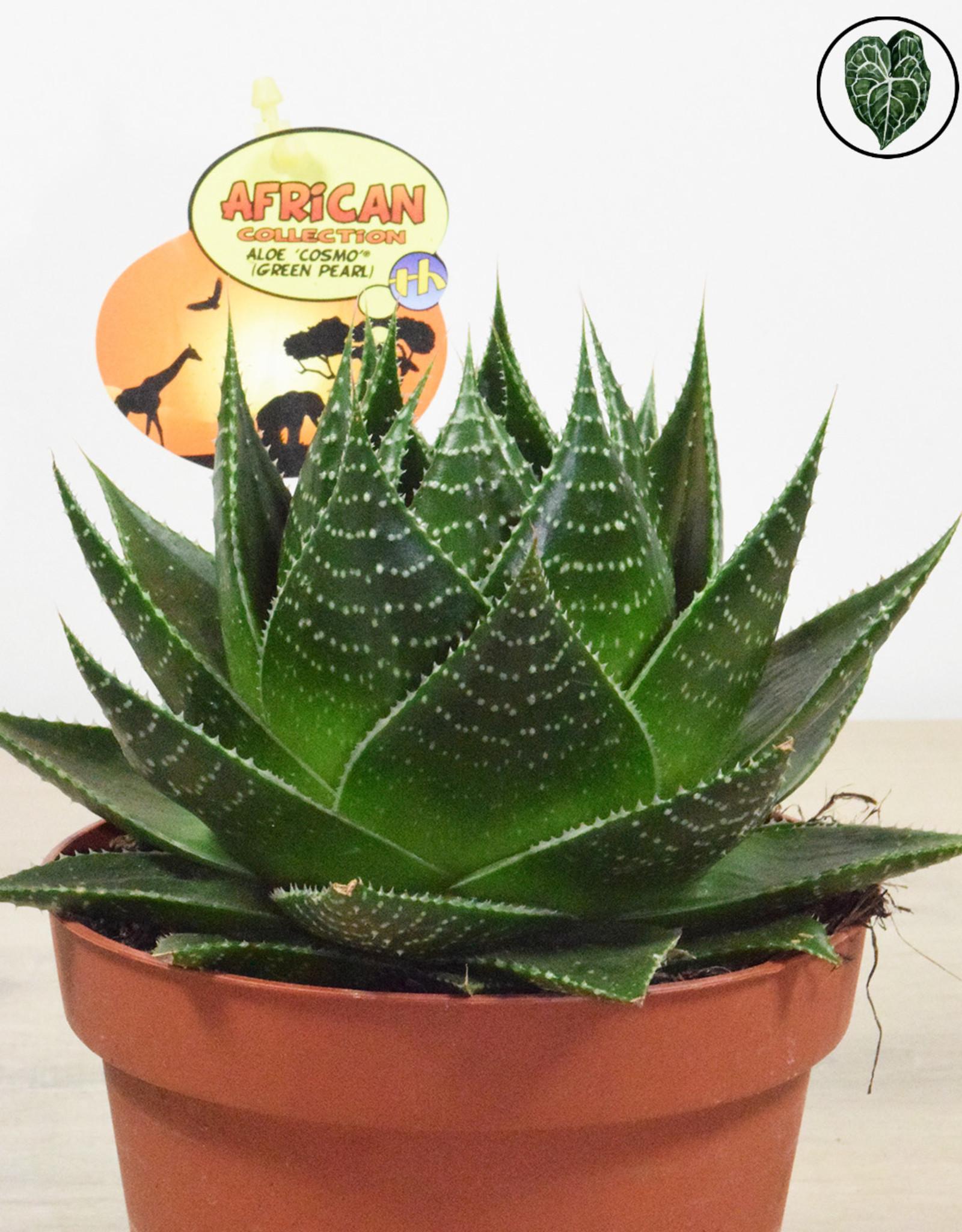Aloë Aloe Cosmo - Aristata