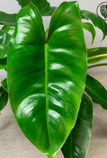 Philodendron Philodendron Burle Marx