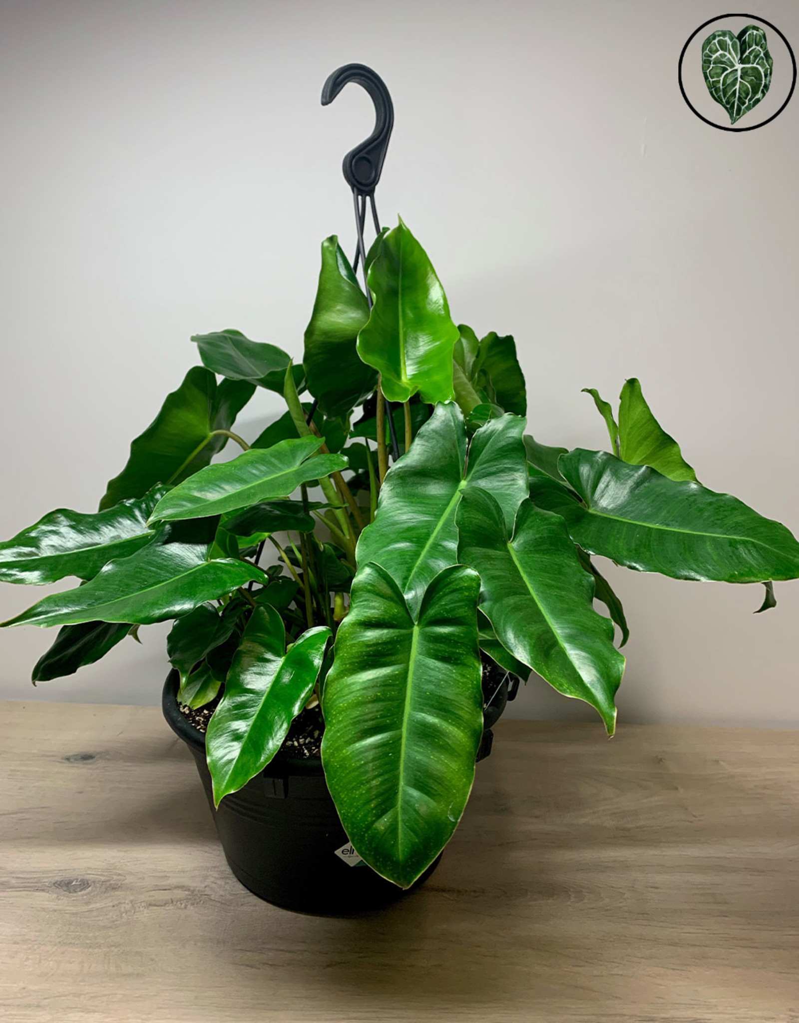 Philodendron Philodendron Burle Marx - Large