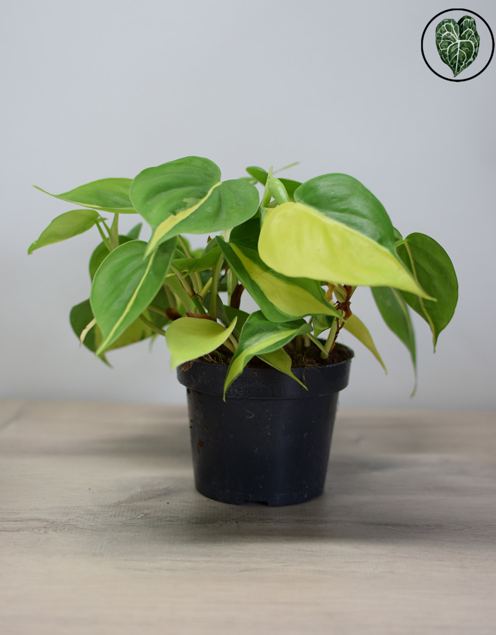 Philodendron Philodendron Scandens Brasil