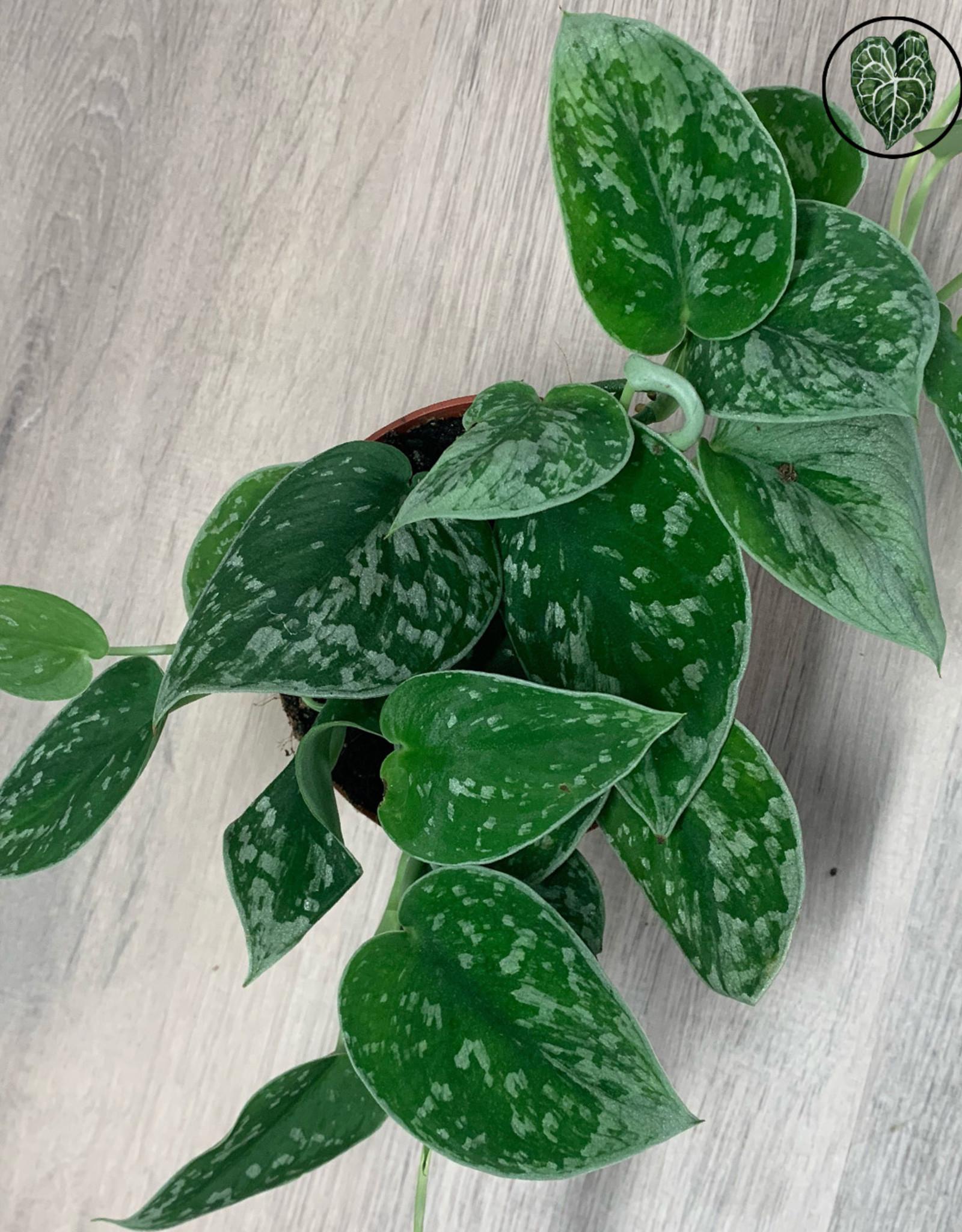 Scindapsus & Epipremnum Scindapsus (Epipremnum) Pictus
