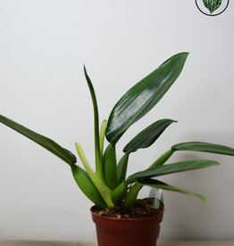 Philodendron Philodendron Martianum (Fatboy)