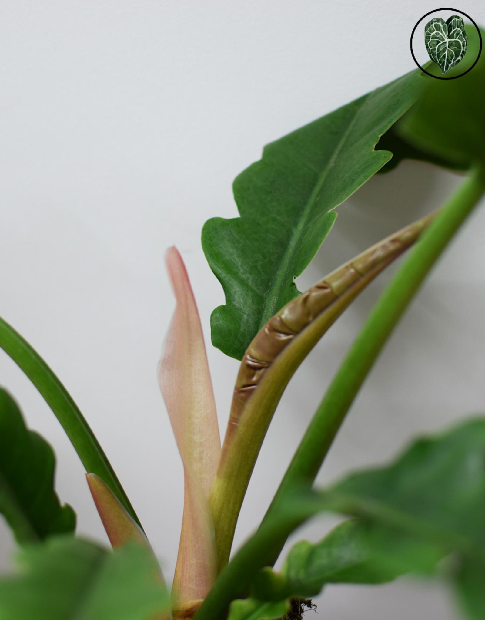 Philodendron Philodendron Narrow Escape