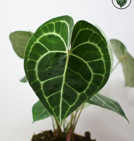 Anthurium Anthurium Clarinervium