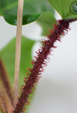 Philodendron Philodendron Squamiferum (M)