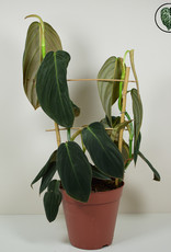 Philodendron Philodendron Gigas
