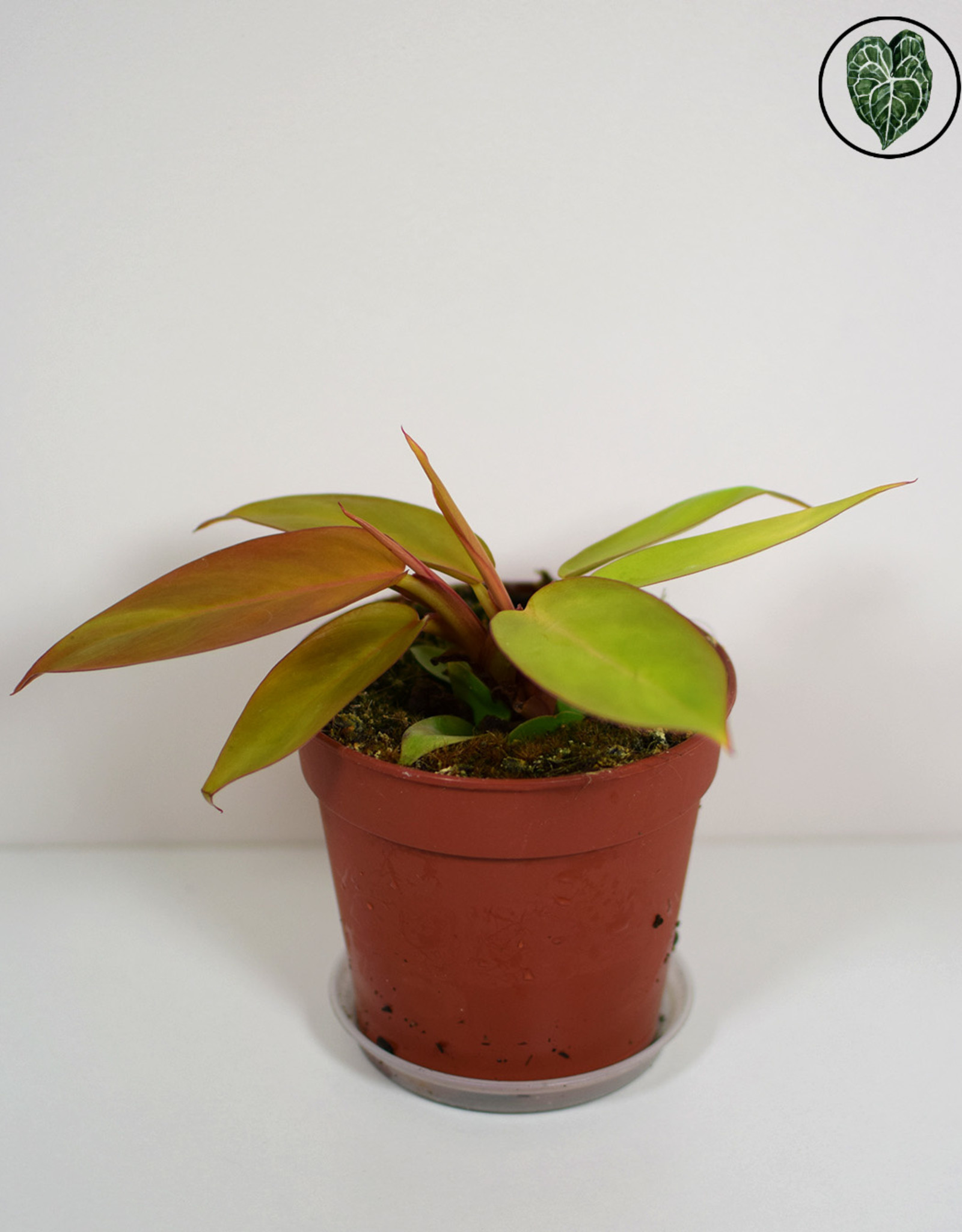 Philodendron Philodendron Prince of Orange (M)