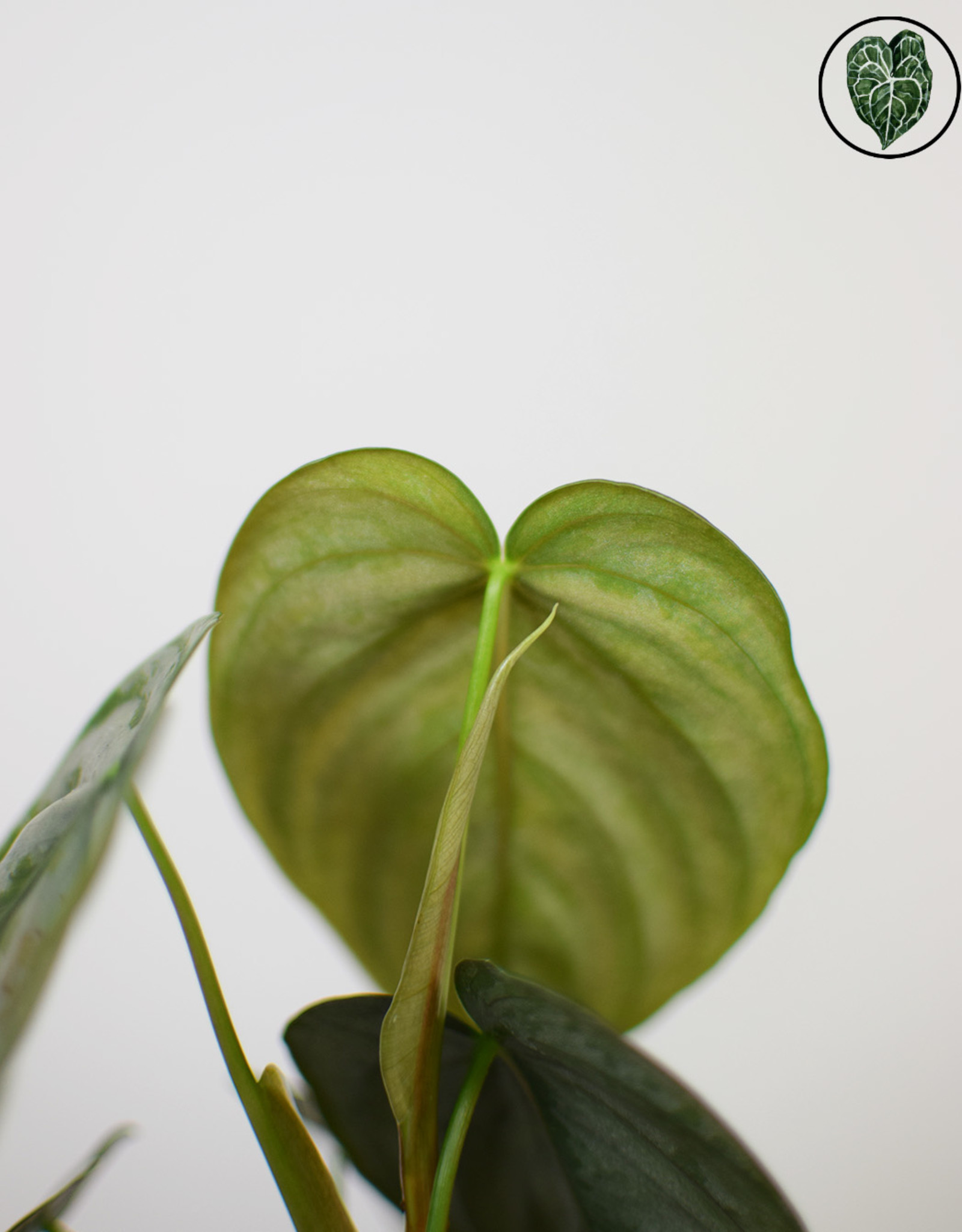 Philodendron Philodendron Brandtianum