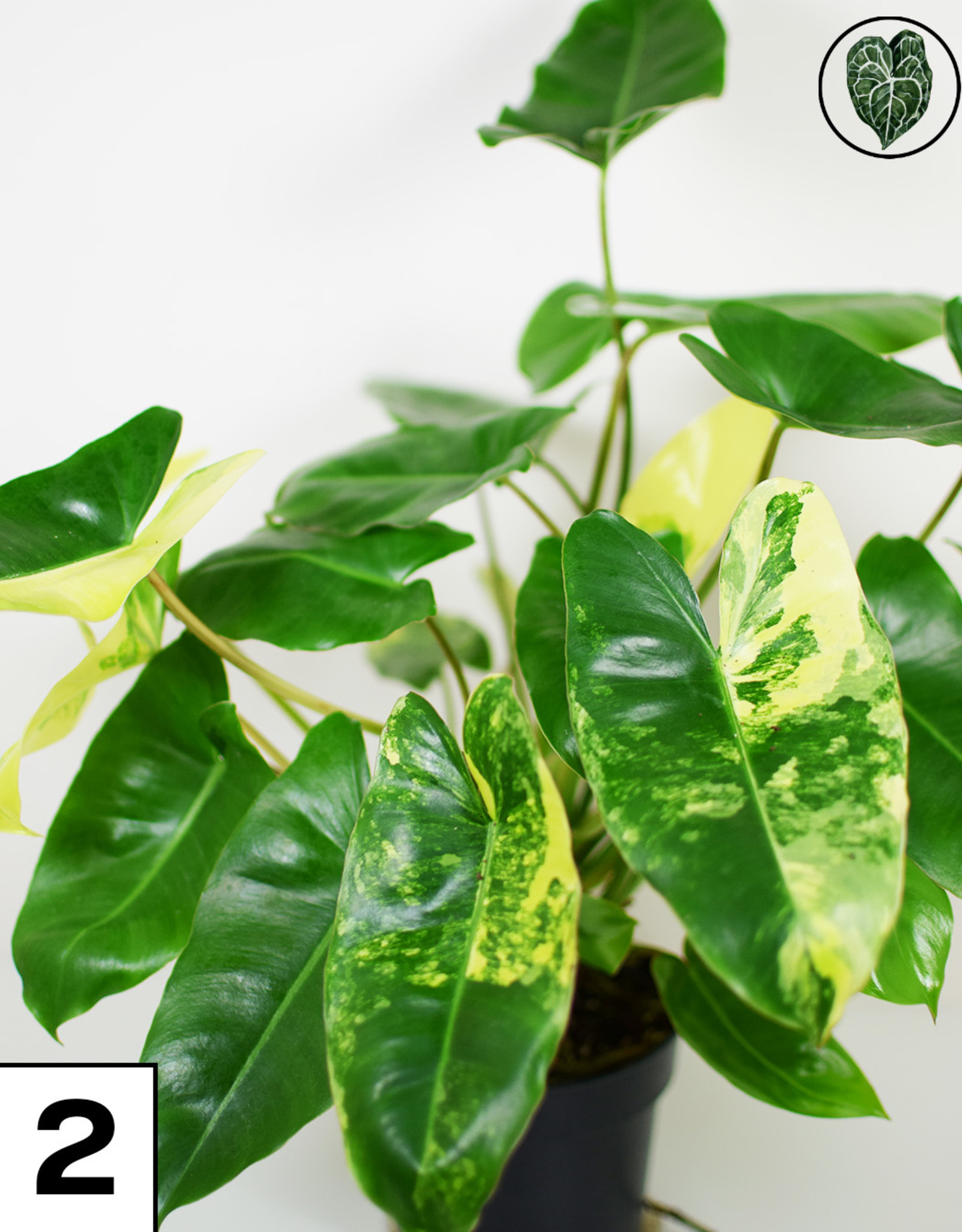 Philodendron Philodendron Burle Marx  Variegata