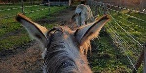 Het onthaastende effect van ezels...