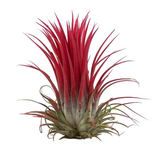 Tillandsia lonantha rood