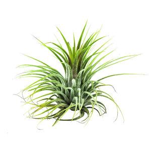 Tillandsia lonantha groen