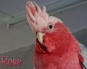 Mijn Rose kaketoe's Pink en Rosé