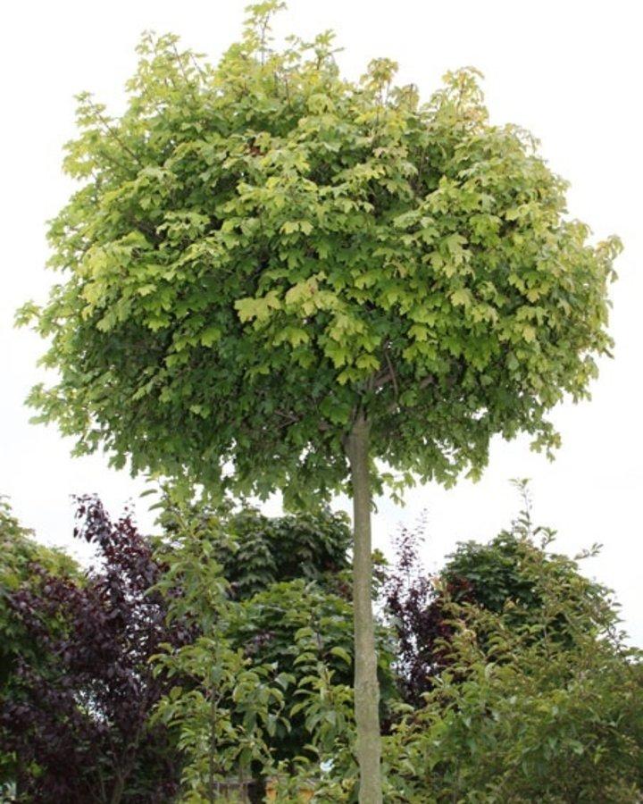 Acer campestre 'Nanum' | Bol veldesdoorn | Laanboom Wortelgoed