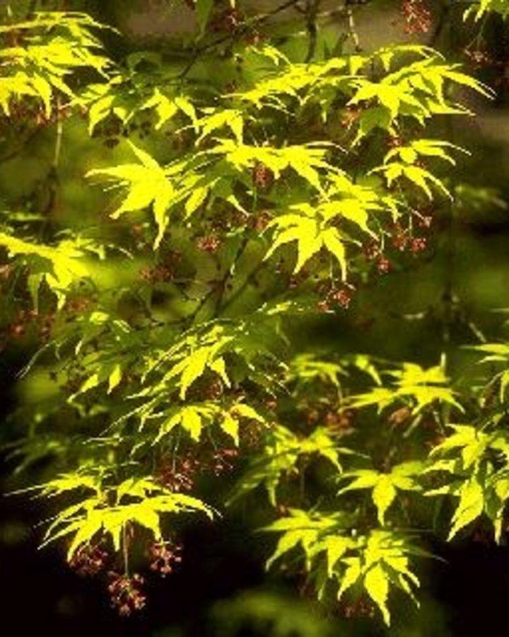 Acer palmatum | Japanse esdoorn | Heester