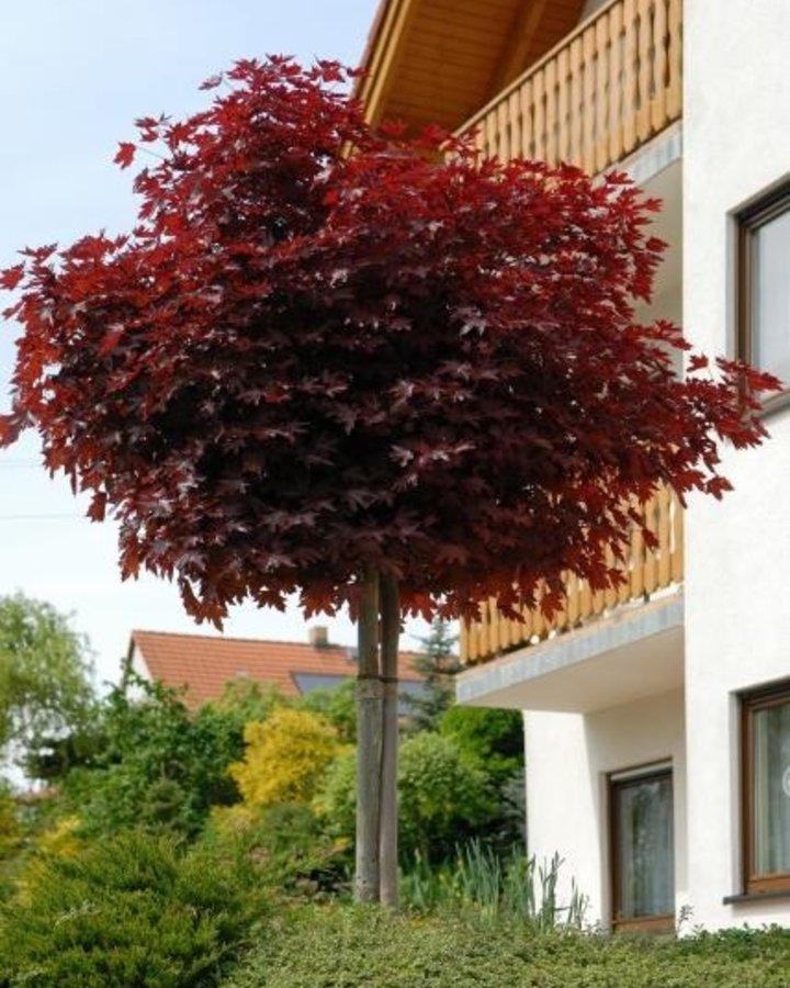 Acer plat. 'Crimson Sentry' | Rode esdoorn | Laanboom Wortelgoed