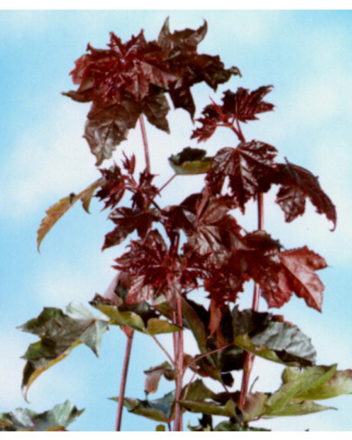 Acer plat. 'Royal Red' / Rode esdoorn