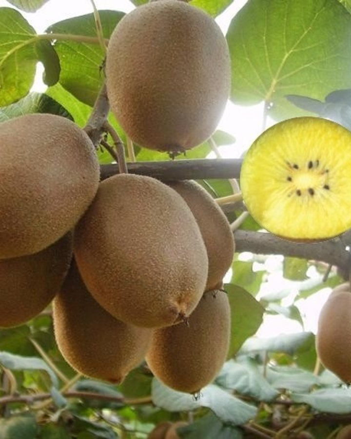 Actinidia deliciosa 'Golden Kiwi' / Gele / Golden kiwi  (vrouwelijk)