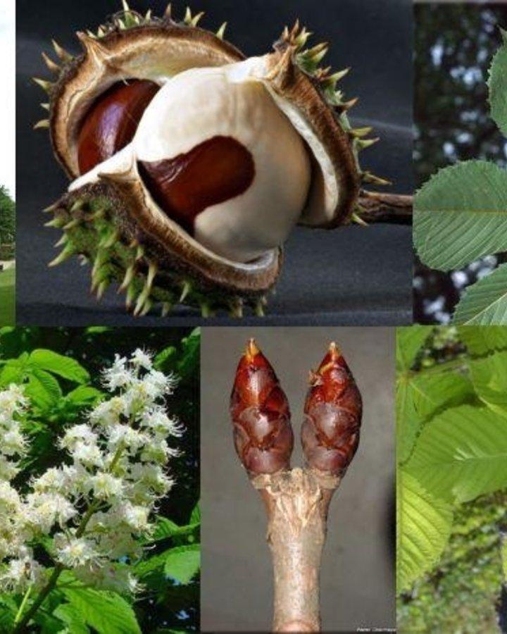 Aesculus hippocastanum | Dubbelbloemige paardenkastanjeboom  | Bos-en Haagplantsoen