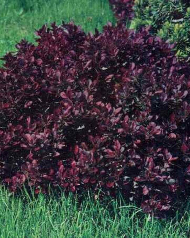 Berberis thunb. 'Atropurpurea Nana' | Rode japanse dwergzuurbes  | Heester