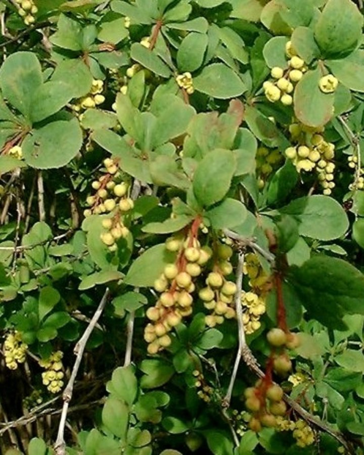 Berberis vulgaris | Gewone zuurbes  | Heester