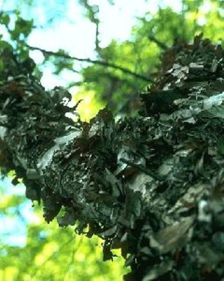 Betula nigra / Zwarte berk