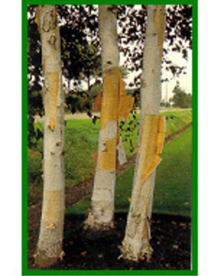 Betula utilis 'Doorenbos' | Zuiver witte berk  | Laanboom Container