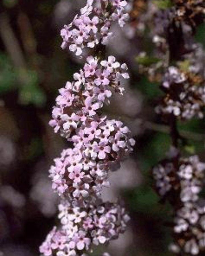 Buddleja alternifolia / Vlinderstruik