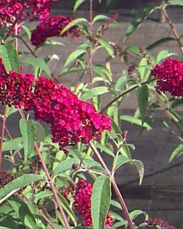 Buddleja dav. 'Royal Red' / Vlinderstruik