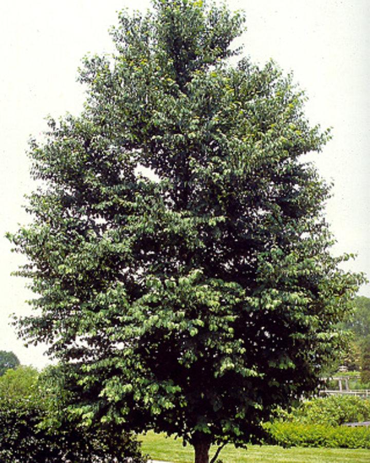 Cercidiphyllum japonicum   Zwepenboom    Laanboom