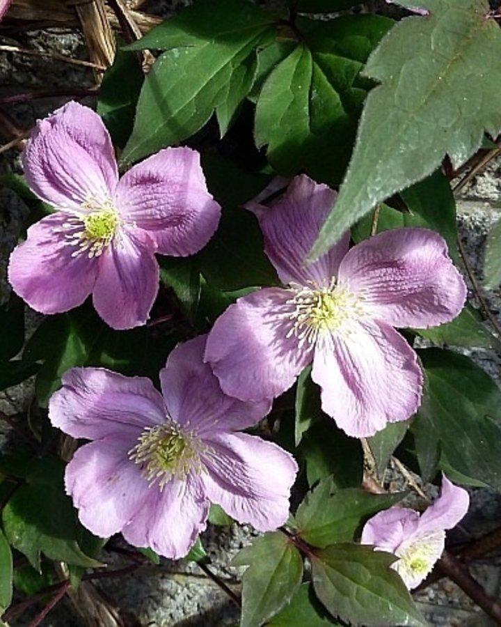 Clematis montana 'Mayleen' | rose berg bosrank  | Klimplanten