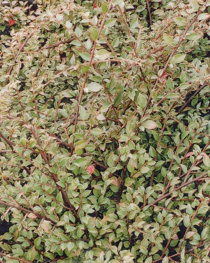 Cotoneaster atrop. 'Variegatus' / Dwergmispel