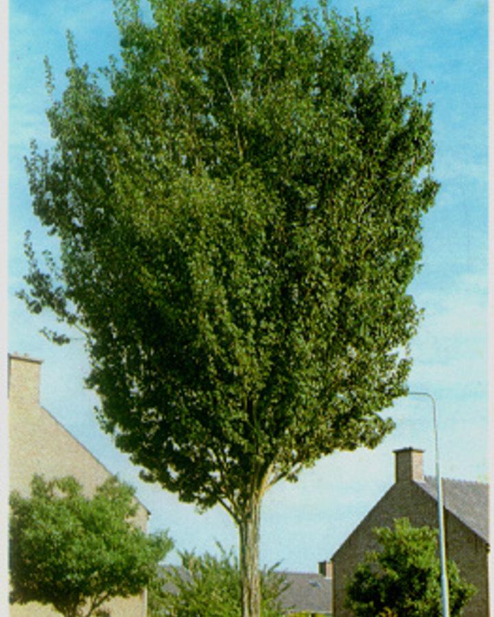 Crataegus monogyna 'Stricta' / Meidoorn