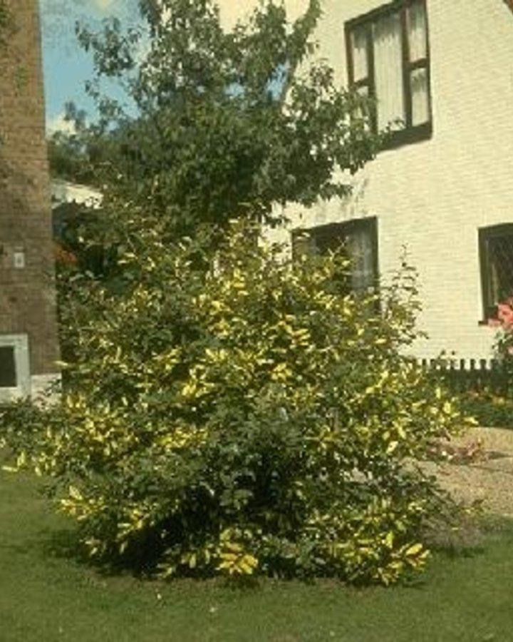 Elaeagnus pungens 'Maculata' / Olijfwilg